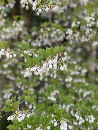 桜からバトンタッチのドウダンツツジ。 - 嵐山ハイブリッド美術館日記