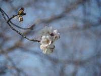 桜2021 - azukki的.
