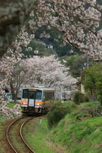 桜のトンネル - ゆる鉄DEイコー!