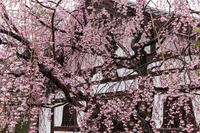 2021桜咲く京都 建仁寺浴室のしだれ桜 - 花景色-K.W.C. PhotoBlog