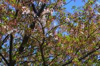 桜 - 気ままな生き物撮り 弐