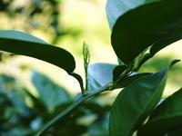 種なしかぼす今年もネット独占販売いたします!順調に新芽が芽吹きました!8月中旬から出荷予定です! - FLCパートナーズストア