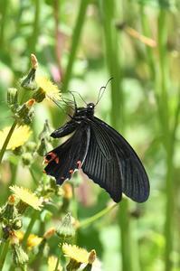 クロアゲハ - 続・蝶と自然の物語