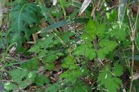 ■野草 3種21.4.13(ヤブニンジン、ツルカノコソウ、ネコノメソウ) - 舞岡公園の自然2
