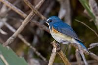 ルリビタキ - 北の大地で野鳥ときどきフライフィッシング