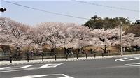 藤田八束和が素敵な街西宮市の桜、見事な春を披露、西宮の桜は日本一・・・桜と子供達 - 藤田八束の日記