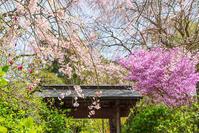 北鎌倉・明月院の春の花2021 - エーデルワイスブログ