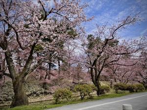 4月14日 弘前の桜 - Lovely! in London