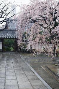 2021桜巡り雨散り枝垂れ桜@内緒のお寺 - デジタルな鍛冶屋の写真歩記