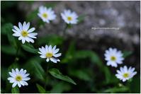 春のスケッチ 2021 #038 @XF90mm F2 - ルリビタキの気まぐれPATA*PATA