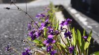 21年春の自然(30)…スミレ(3) - ふぉっしるもしてみむとてするなり