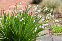 スノーフレークとムスカリ - my small garden~sugar plum~