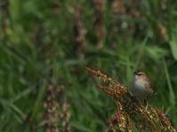秋ヶ瀬田んぼ 2021.4.12(2) - 鳥撮り遊び