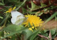 早春の花と昆虫チョウ編 - 公園昆虫記