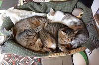 みっちり猫団子 - ねこっかぶりねこ3