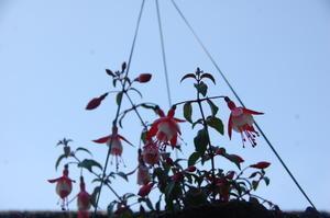 ヒマワリ植え付け・・・我が家の花壇 -