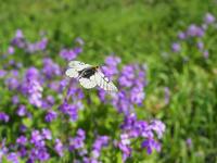 ウスバシロチョウ飛翔 - 風任せ自由人