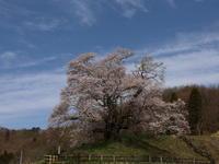 桜だより(25) 沼田市 発知のヒガンザクラ (2021/4/8撮影) - toshiさんのお気楽ブログ