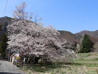 桜だより(27) 沼田市 山妻有のエドヒガン (2021/4/8撮影) - toshiさんのお気楽ブログ