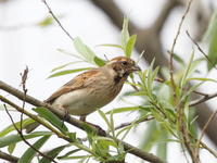 立木に集結するオオジュリン - コーヒー党の野鳥と自然パート3