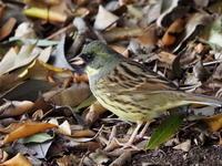 谷津干潟にいたアオジ - コーヒー党の野鳥と自然パート3