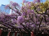 赤坂日枝神社のまさると藤 - jujuの日々