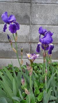 ジャーマンアイリス開花 - ウィズコロナのうちの庭の備忘録~Green's Garden~