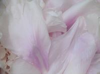 今年2021年の牡丹④雨の日の牡丹 - バラとハーブのある暮らし Salon de Roses