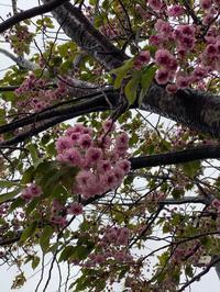 桜もそろそろ - 絵を描くきもち-イツコルベイユ