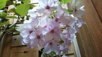 鉢植えの 一才桜今... - 笑顔で行こう