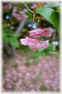 Double cherry-blossoms - おだやかに たのしく Que Sera Sera