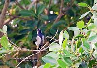 亜種イシガキシジュウカラは八重山地方に分布する - THE LIFE OF BIRDS ー 野鳥つれづれ記