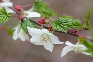 モミジイチゴの花咲く季節 - 週末は瀬音を聞きながら