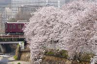 桜と阪急①神戸線編 - 鉄男の部屋
