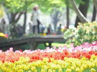 昭和記念公園のチューリップ - 幡ヶ谷写真部 ~写真好き司法書士の写真ブログ~