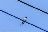 21散歩〜春つばめ鳥撮りさんぽDAY19 - 散歩と写真 Fotografia é Passeggiata