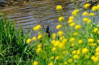 21散歩〜春菜の花とカモ鳥撮りさんぽDAY19 - 散歩と写真 Fotografia é Passeggiata