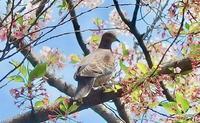 #野鳥 #キジバト『雉鳩 #TurtleDove』 - 自然感察 *nature feeling*