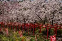 鳥居と桜 - toshi の ならはまほろば