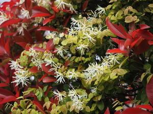 マンサクの花 -