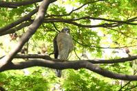 木陰でお食事♪<雀鷹> - 風のむろさん 自然の詩
