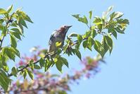 葉桜…!<小椋鳥他> - 風のむろさん 自然の詩