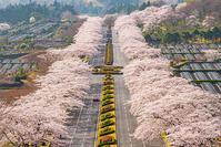 富士霊園の桜2021 - エーデルワイスPhoto