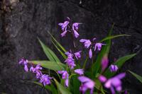 紫蘭が咲いてますね。 - X-T1やあれこれ
