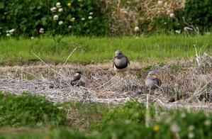 ケリが繁殖し雛が出てきた・・・ - 一期一会の野鳥たち
