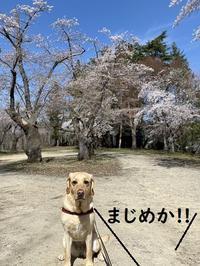 イノシシと桜。 - りんご村
