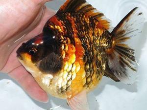 4月16日 新着情報のご案内です。 - フルタニ金魚倶楽部blog