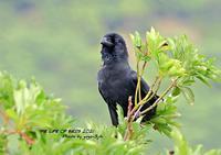 亜種オサハシブトガラスは八重山諸島に生息する - THE LIFE OF BIRDS ー 野鳥つれづれ記