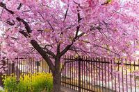 2021桜咲く京都 河津桜の並木道(淀水路) - 花景色-K.W.C. PhotoBlog