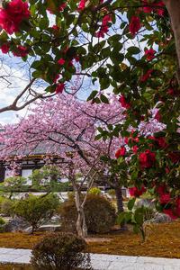 2021桜咲く京都 三十三間堂の河津桜と春の花々 - 花景色-K.W.C. PhotoBlog
